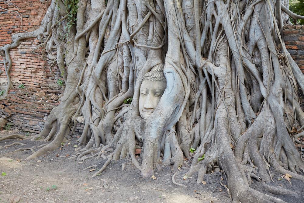 Wat Mahathat Buddha Vine Head
